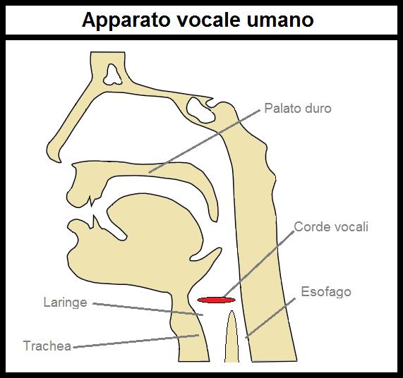 Apparato vocale